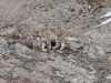 Schneeleopard-_DWF2123