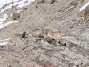 Schneeleopard-_DWF2201