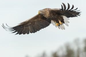Seeadler - Lauvsnes, Norwegen
