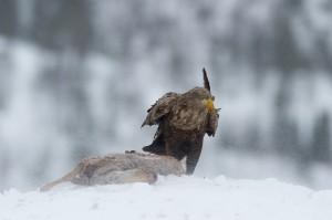 Seeadler im Schneetreiben - Lauvsnes, Norwegen