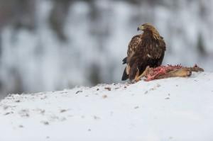Steinadler auf Reh - Lauvsnes, Norwegen