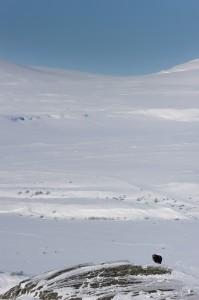 Moschusochse im Dovrefjell, Norwegen