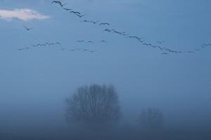 Kraniche im Morgengrauen