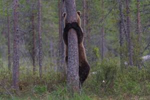 Suchbild mit verstecktem Bären