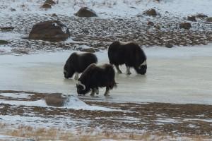 Moschusochsen auf dem Eis